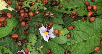 Колорадський жук атакує посіви картоплі