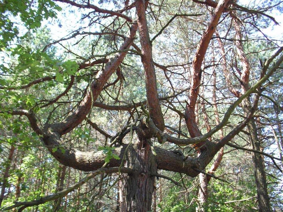 В лісі ростуть дерева-монстри