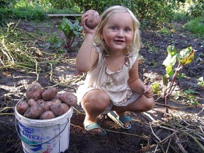 мчит картинки на тему копаем картошку сортов